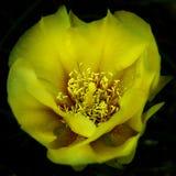 Flor amarilla del cactus Imágenes de archivo libres de regalías