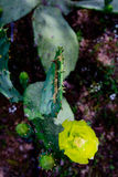 Flor amarilla del cactus Fotos de archivo