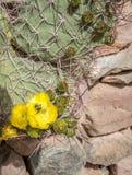 Flor amarilla del cactus Fotografía de archivo