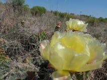 Flor amarilla del cactus en floraciones en junio imagen de archivo