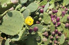 Flor amarilla del cactus florido Foto de archivo libre de regalías