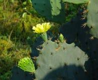 Flor amarilla del cactus del higo chumbo Imagen de archivo libre de regalías