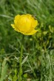 Flor amarilla del campo Imágenes de archivo libres de regalías