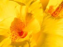 Flor amarilla del canna en jardín imagen de archivo