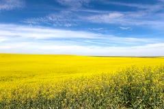 Flor amarilla del Canola Imagen de archivo libre de regalías