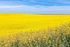 Flor amarilla del Canola Foto de archivo libre de regalías