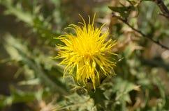 Flor amarilla del cardo foto de archivo