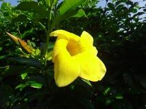 Flor amarilla del cathartica del Allamanda de la especie Imagen de archivo libre de regalías
