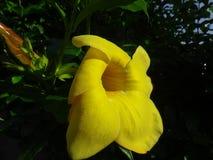 Flor amarilla del cathartica del Allamanda de la especie Fotografía de archivo