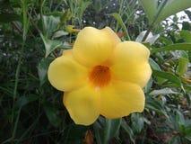 Flor amarilla del cathartica del Allamanda de la especie Imagenes de archivo