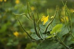 Flor amarilla del celandine Vainas con las semillas imagen de archivo libre de regalías