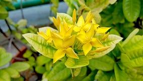 Flor amarilla del coccinea de Ixora Fotos de archivo