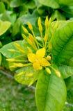 Flor amarilla del coccinea de Ixora Imagen de archivo