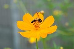 Flor amarilla del cosmea con la abeja Foto de archivo