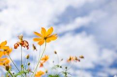Flor amarilla del cosmos fotos de archivo libres de regalías