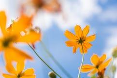 Flor amarilla del cosmos fotografía de archivo
