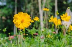 Flor amarilla del cosmos Fotografía de archivo libre de regalías
