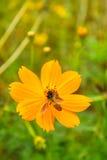 Flor amarilla del cosmos Imágenes de archivo libres de regalías