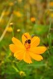 Flor amarilla del cosmos Imagen de archivo libre de regalías