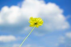 Flor amarilla del cosmos con el fondo del cielo nublado imagenes de archivo