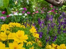 Flor amarilla del cosmos en el jardín Imágenes de archivo libres de regalías