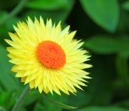 Flor amarilla del crisantemo Imagenes de archivo