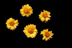 Flor amarilla del crisantemo fotos de archivo