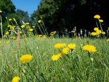 Flor amarilla del diente de león imagen de archivo libre de regalías