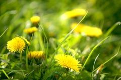 Flor amarilla del diente de león Fotografía de archivo