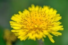Flor amarilla del diente de león imagen de archivo