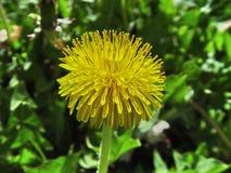 Flor amarilla del diente de león foto de archivo