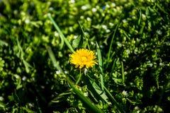 Flor amarilla del diente de león foto de archivo libre de regalías