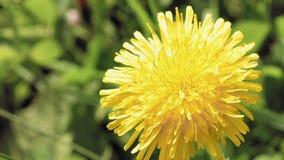 Flor amarilla del diente de león en el ambiente salvaje metrajes