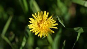 Flor amarilla del diente de león en el jardín almacen de video