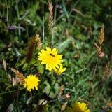 flor amarilla del diente de león en prado en Ploumanach Fotografía de archivo libre de regalías