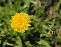 Flor amarilla del diente de león en primavera Imágenes de archivo libres de regalías