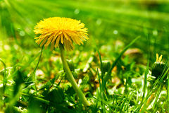 Flor amarilla del diente de león en una hierba verde Fotos de archivo libres de regalías