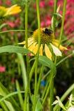 Flor amarilla del Echinacea con la abeja Imagenes de archivo