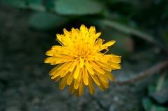 Flor amarilla del flor en el jardín Foto de archivo libre de regalías
