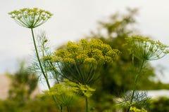Flor amarilla del eneldo en el jardín, cierre amarillo del eneldo para arriba, día de verano Imagen de archivo