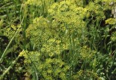 Flor amarilla del eneldo en el jardín, cierre amarillo del eneldo para arriba, día de verano Foto de archivo libre de regalías