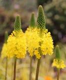 Flor amarilla del eremurus Imagen de archivo
