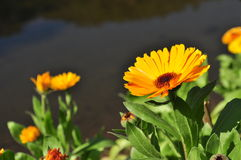 Flor amarilla del flor Imagen de archivo libre de regalías
