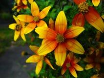 Flor amarilla del foco medio imagenes de archivo