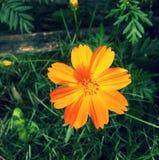 Flor amarilla del fondo de la naturaleza sola Foto de archivo