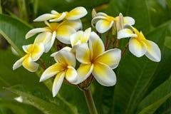 Flor amarilla del frangipani aislada en fondo verde foto de archivo libre de regalías
