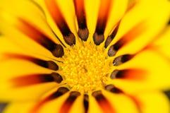 Flor amarilla del Gazania Fotos de archivo