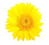 Flor amarilla del gerbera Fotos de archivo