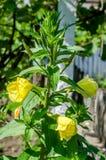 Flor amarilla del glazioviana del Oenothera imágenes de archivo libres de regalías