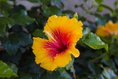 Flor amarilla del hibisco Fotografía de archivo